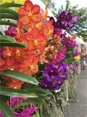 Orange, purple and pink orchids