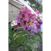 Orchids hanging from a GreenMarket vendor booth.