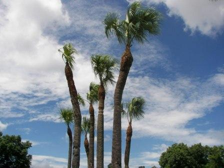 Over-pruning of Sabal Palms