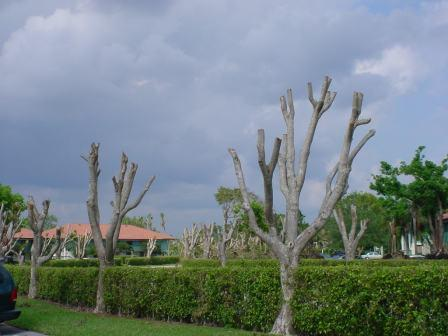 Trees that have been hatracked