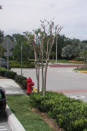 Improper shaping of a Crape Myrtle