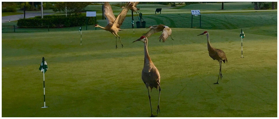 Sandhill Cranes on Course